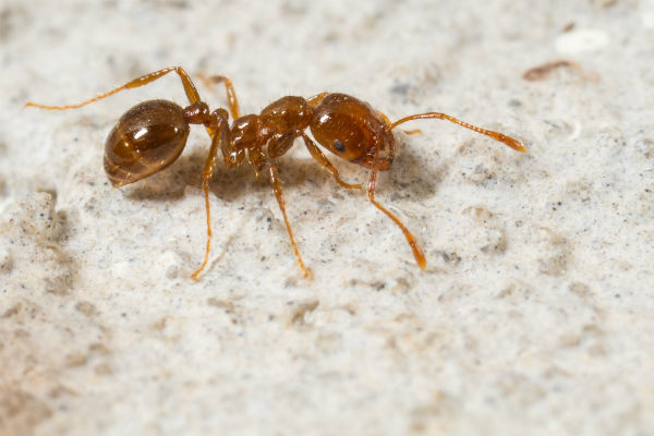 fire ant,ヒアリ